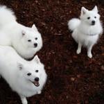 Kiara, Sasha og Sachi